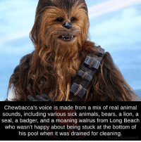 Chewbacca, Memes, and 🤖: Chewbacca's voice is made from a mix of real animal  sounds, including various sick animals, bears, a lion, a  seal, a badger, and a moaning walrus from Long Beach  who wasn't happy about being stuck at the bottom of  his pool when it was drained for cleaning.  fb.com factsweird
