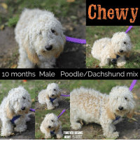 Dogs, Memes, and Puppies: Chewy  10 monthsMale Poodle/Dachshund mix  FOREVER BEGINS  HUMANE  SOCIET All dogs/puppies in our shelter can be viewed here.  Any dog not being held as a stray is available for immediate, same-day adoption! Adoption applications are reviewed on site. Please share our dogs and help get them out of the shelter as quickly as possible!  **PLEASE NOTE**  Placing an application on a dog featured in this album does NOT hold the dog for you.  All available dogs are available to be met and adopted same day if already altered.  If not altered, the dog can be met and paid for in order to hold the dog for you.  Thank you for your understanding!