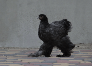 Tumblr, Blog, and Com: chickenkeeping: kluseczki-chickens:  She has pants.   what a godly being
