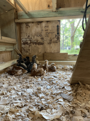 Chicks in their new coop cuteness: Chicks in their new coop cuteness