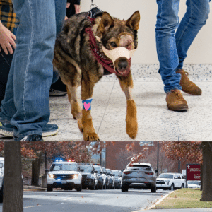 Chief, the K9 police dog that lost his eye from a gunshot wound, received a hero's welcome as he was brought home from the vet today.: Chief, the K9 police dog that lost his eye from a gunshot wound, received a hero's welcome as he was brought home from the vet today.