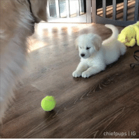 9gag, Dumb, and Memes: chiefpups | IG Wheres the ball? Tag a dumb pawtato - 🎥 @chiefpups - shorttermmemory 9gag goldenretriever