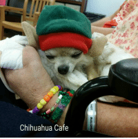 Sorry I fall asleep at work today. It's not easy to be cute all day you know~ <3 Mimi: Chihuahua Cafe Sorry I fall asleep at work today. It's not easy to be cute all day you know~ <3 Mimi