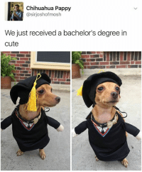 Ayyyyy   More 👉 @miinute: Chihuahua Pappy  @sir joshof mosh  We just received a bachelor's degree in  cute Ayyyyy   More 👉 @miinute