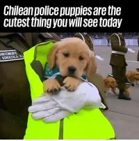 Oh my god 😍😍😍: Chilean police puppies are the  cutest thingyou willsee today Oh my god 😍😍😍