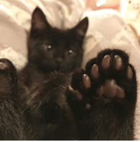 Chillin' out on Caturday morning, counting your toe beans like 🤔 {courtesy of @theittybittykittycommittee} sixtoes themeowlife: Chillin' out on Caturday morning, counting your toe beans like 🤔 {courtesy of @theittybittykittycommittee} sixtoes themeowlife