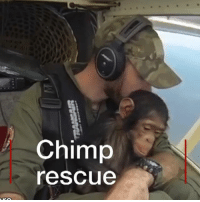 Animals, Cute, and Memes: Chimp  rescue Watch this baby chimp being flown to a new home after he was rescued from poachers. Mussa struck up an amazing bond with pilot Anthony Caere as they flew to Lwiro Primates, a rehab centre for orphaned chimps and monkeys in DR Congo. chimpanzee animals rescue flying pilot drcongo cute bbcnews