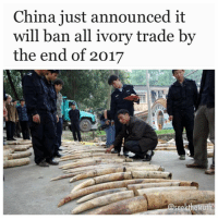 "ScienceAlert.com- In a huge move, China has just announced that it will ban all processing and trade of ivory by the end of 2017, with the first factories scheduled to shut down in just three months time, by the end of March. ""China will gradually stop the processing and sales of ivories for commercial purposes by the end of 2017,"" said the official Xinhua news agency, citing a government statement. The move has been heralded as a 'game changer' by environmental organisations such as the WorldWildlifeFund and Natural Resources Defence Council, seeing as China is one of the biggest global markets for ivory, where it's used as a precious material in jewellery, furniture, and sometimes even Chinese medicine. ""This is great news that will shut down the world's largest market for elephant ivory,"" Aili Kang, executive director of the Wildlife Conservation Society in Asia, said in a statement. With fewer than half a million Africanelephants remaining, the question is whether this be enough to save this vulnerable species from a steady decline into extinction. More than 20,000 elephants are killed for their tusks each year, according to the World Wildlife Fund for Nature, with much of it destined for ivory-hungry markets in China, Hong Kong, and the United States. Some African countries have even seen a 60 percent decline in elephant numbers between 2009 and 2014. Since 1989, there's been an international treaty in place outlawing the sale of ivory harvested after 1975, known as the Convention on International Trade in Endangered Species of Wild Fauna and Flora (CITES) But without local legislation to back this up, the treaty often goes ignored. Last year, China committed itself to slowly strangling domestic trade in ivory products. ""We will strictly control ivory processing and trade until the commercial processing and sale of ivory and its products are eventually halted,"" announced the head of China's State Forestry Administration, Zhao Shucong in May last year. This was just one part of a 10-point plan intended to eradicate the sale and distribution of ivory across the country, which included education campaigns and increased online surveillance.: China just announced it  will ban all ivory trade by  the end of 2017  @seekthetruth ScienceAlert.com- In a huge move, China has just announced that it will ban all processing and trade of ivory by the end of 2017, with the first factories scheduled to shut down in just three months time, by the end of March. ""China will gradually stop the processing and sales of ivories for commercial purposes by the end of 2017,"" said the official Xinhua news agency, citing a government statement. The move has been heralded as a 'game changer' by environmental organisations such as the WorldWildlifeFund and Natural Resources Defence Council, seeing as China is one of the biggest global markets for ivory, where it's used as a precious material in jewellery, furniture, and sometimes even Chinese medicine. ""This is great news that will shut down the world's largest market for elephant ivory,"" Aili Kang, executive director of the Wildlife Conservation Society in Asia, said in a statement. With fewer than half a million Africanelephants remaining, the question is whether this be enough to save this vulnerable species from a steady decline into extinction. More than 20,000 elephants are killed for their tusks each year, according to the World Wildlife Fund for Nature, with much of it destined for ivory-hungry markets in China, Hong Kong, and the United States. Some African countries have even seen a 60 percent decline in elephant numbers between 2009 and 2014. Since 1989, there's been an international treaty in place outlawing the sale of ivory harvested after 1975, known as the Convention on International Trade in Endangered Species of Wild Fauna and Flora (CITES) But without local legislation to back this up, the treaty often goes ignored. Last year, China committed itself to slowly strangling domestic trade in ivory products. ""We will strictly control ivory processing and trade until the commercial processing and sale of ivory and its products are eventually halted,"" announced the head of China's State Forestry Administration, Zhao Shucong in May last year. This was just one part of a 10-point plan intended to eradicate the sale and distribution of ivory across the country, which included education campaigns and increased online surveillance."