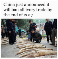 "Memes, Precious, and China: China just announced it  will ban all ivory trade by  the end of 2017  @seekthetruth In a huge move, China has just announced that it will ban all processing and trade of ivory by the end of 2017, with the first factories scheduled to shut down in just three months time, by the end of March. ""China will gradually stop the processing and sales of ivories for commercial purposes by the end of 2017,"" said the official Xinhua news agency, citing a government statement. The move has been heralded as a 'game changer' by environmental organisations such as the WorldWildlifeFund and Natural Resources Defence Council, seeing as China is one of the biggest global markets for ivory, where it's used as a precious material in jewellery, furniture, and sometimes even Chinese medicine. ""This is great news that will shut down the world's largest market for elephant ivory,"" Aili Kang, executive director of the Wildlife Conservation Society in Asia, said in a statement. With fewer than half a million Africanelephants remaining, the question is whether this be enough to save this vulnerable species from a steady decline into extinction. More than 20,000 elephants are killed for their tusks each year, according to the World Wildlife Fund for Nature, with much of it destined for ivory-hungry markets in China, Hong Kong, and the United States. Some African countries have even seen a 60 percent decline in elephant numbers between 2009 and 2014. Since 1989, there's been an international treaty in place outlawing the sale of ivory harvested after 1975, known as the Convention on International Trade in Endangered Species of Wild Fauna and Flora (CITES) But without local legislation to back this up, the treaty often goes ignored. Last year, China committed itself to slowly strangling domestic trade in ivory products. ""We will strictly control ivory processing and trade until the commercial processing and sale of ivory and its products are eventually halted,"" announced the head of China's State Forestry Administration, Zhao Shucong in May last year. This was just one part of a 10-point plan intended to eradicate the sale and distribution of ivory across the country, which included education campaigns and increased online. r-p @seekthetruth standup911"