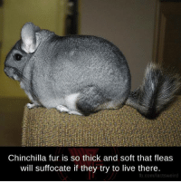 Memes, 🤖, and Fur: Chinchilla fur is so thick and soft that fleas  will suffocate if they try to live there.  com/factsweird
