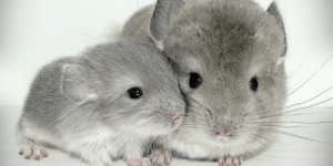 Gone, Three, and They: Chinchillas have three distinct phases during dust bathing. In the Paw Phase they bring dust to their body. In the Cheek Phase they rub the sand on their faces. In the Spin Phase they spin in the dust. The longer they have gone without bathing the more they spin.