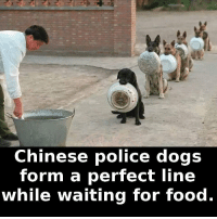 https://t.co/jdKYUpv0Ru: Chinese police dogs  form a perfect line  while waiting for food. https://t.co/jdKYUpv0Ru
