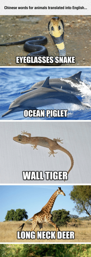 Animals, Deer, and Tumblr: Chinese words for animals translated into English...  EYEGLASSES SNAKE  OCEAN PIGLET  WALL TIGER  LONG NECK DEER srsfunny:Chinese Animal Names