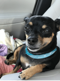 Smile, Chiweenie, and Post: Chiweenie Smile [x-post dogpictures]