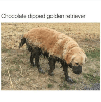 my favorite snack: Chocolate dipped golden retriever  Tank sinatra my favorite snack