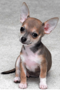 Chihuahua, Memes, and Chocolate: Chocolate Sabled Fawn Chihuahua <3