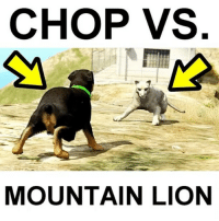 Who's gonna win? Comment before you watch 👾 (Follow me @callofgamerr) Cc: @fullgta: CHOP VS  MOUNTAIN LION Who's gonna win? Comment before you watch 👾 (Follow me @callofgamerr) Cc: @fullgta