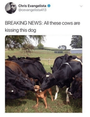 News, Breaking News, and Dog: Chris Evangelista  @cevangelista413  BREAKING NEWS: All these cows are  kissing this dog