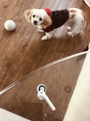 Christmas Airpods turn out to be chewy toy.: Christmas Airpods turn out to be chewy toy.