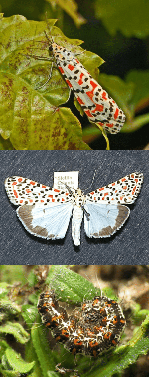 Africa, Family, and Tumblr: Chta nla cool-critters: Crimson-speckled moth (Utetheisa pulchella) The crimson-speckled moth is a moth of the family Erebidae.This common widespread species can be found in most of Europe, in the Afrotropical ecozone, in North Africa, in the Near East, in the Nearctic ecozone, in the Oriental ecozone, in the Neotropical ecozone and in Australia. The wingspan of Utetheisa pulchella can reach 29–42 mm. This species in southern Europe overwinters as a caterpillar. Pupation  occurs on the ground near the host plants, usually on fallen leaves and  dead vegetation, or pieces of bark and old wood. During mild winters in  temperate and typically Mediterranean climates this species hibernates  as pupae. photo credits: Hectonichus, Kurt Kulac, Katja Schulz