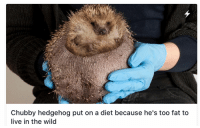 me_irl: Chubby hedgehog put on a diet because he's too fat to  live in the wild me_irl