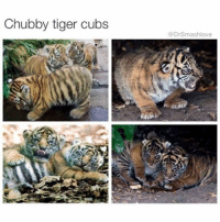 Memes, Titties, and Cubs: Chubby tiger cubs  DrSmashlove HAHAHAHA ol chubby ass overfed ass obese ass overstuffed lookin ass, breastfed till age 6 having full conversations with his mama and then sucking on her titty while he look her in the eye lookin ass, extra food in the lunch line because the lunch lady know that a regular first grade portion ain't enuf for him lookin ass, cold chicken McNuggets at snack time lookin ass. LIL FATTY LOOKIN ASS HAHAHAHA <- we're roasting tiger toddlers now. FYI. This is the wave we're on. Ask yourself - why do y'all allow smash to wil' out like this? It's not healthy it's really not stop laughing nah FR STOP LAUGHING 😂😂😂