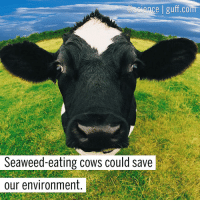 "Dieting, Hungry, and Memes: cience g  COm  Seaweed-eating cows could save  our environment Say what now? If you weren't aware, cows are super gassy and their farts and burps are behind (heh) 14.5 percent of all greenhouse gas emissions. So, how will seaweed fix it? Researchers in Queensland, Australia have discovered that by adding dried seaweed to a cow's diet, the methane that they produce decreases by up to 99 percent. Asparagopsis taxiformis, a type of red seaweed, made the most significant reduction and, according to Rocky De Nys, aquaculture professor and scientist on the study, ""If Asparagopsis is fed to sheep at 2 percent of their diet, they produce between 50 and 70 percent less methane over a 72-day period continuously."" Tag someone gassy in the comments who could use some Asparagopsis taxiformis in their life! Photo cred: The Big Hungry Planet Science Cows Gas Farts Burps Seaweed BestOf"