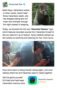 """Alive, Dicks, and Heaven: Cincinnati Zoo  Meet Aziya, Harambe's widow.  In other words, Haram""""bae"""".  Since Harambe's death, she  has stopped eating and will  moan and whimper through  the night instead of sleeping.  Today, we showed her the new """"Harambe Heaven"""" app,  which features recorded sounds from Harambe himself &  lets you take him up to heaven. Aziya instantly perked up;  she ended up watching and listening for four more hours.  SPE  Now she's back to being herself: eating again, and evern  resting where her and Harambe used to nestle togetheir.  Get the game yourself  it's free!) and help keep  Harambe's memory alive.  Harambe Heaven <p><a href=""""http://poordork.tumblr.com/post/148550539580/mugibaby-ulamog-the-infinite-gyro-bang"""" class=""""tumblr_blog"""">poordork</a>:</p><blockquote> <p><a class=""""tumblr_blog"""" href=""""http://mugibaby.tumblr.com/post/148550252102"""">mugibaby</a>:</p> <blockquote> <p><a class=""""tumblr_blog"""" href=""""http://ulamog-the-infinite-gyro.tumblr.com/post/148532961956"""">ulamog-the-infinite-gyro</a>:</p> <blockquote> <p><a class=""""tumblr_blog"""" href=""""http://bang.tumblr.com/post/148483983822"""">bang</a>:</p> <blockquote> <p><a class=""""tumblr_blog"""" href=""""http://ragetweetmachine.tumblr.com/post/148483911893"""">ragetweetmachine</a>:</p> <blockquote> <p>this is the greatest love story since romeo &amp; juliet… and it actually happened. ❤️<br/></p> </blockquote> <p>I miss harambe</p> </blockquote> <p><a class=""""tumblelog"""" href=""""https://tmblr.co/mT6lVR8K3MxN7ekPf83EKMg"""">@bust-him-papa</a></p> </blockquote> <p>keep yalls dicks out, it's working</p> </blockquote>  <p>harambae</p> </blockquote>"""