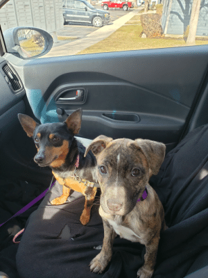 Cinnamon has never been to the park before she's finally had all the necessary shots so cinnamon and Chloe are making their 1st dog park trip: Cinnamon has never been to the park before she's finally had all the necessary shots so cinnamon and Chloe are making their 1st dog park trip