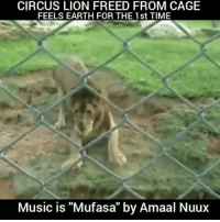 """Memes, Music, and Taken: CIRCUS LION FREED FROM CAGE  FEELS EARTH FOR THE 1st TIME  Music is """"Mufasa"""" by Amaal Nuux Music is Mufasa by @amaalnuux Circus Lion Freed From Cage Feels Earth Beneath His Paws For The First Time. Shared this by the Rancho dos Gnomos Santuário in Brazil shows the thrilling moment a lion named Will experiences, for the first time, the feeling of soil and grass beneath his feet. Prior to being rescued and taken to the sanctuary, Will had been forced to perform with a traveling circus. For 13 long years, the lion had been confined to a cramped cage and denied any semblance of a normal existence. Within seconds of his release, Will can be seen eagerly running his paws through the soft soil — tragically, a foreign material for a creature who, up until then, had known only cold metal floors. This scene, filmed in 2006 though released this week to the public, was only the beginning. In 2011, Will passed away of old age, but not before finally learning what it meant to be a lion. """"He had five years of tranquility before he died. Here he had the opportunity to interact with other lions. He loved to lie in grass and look at the sky,"""" sanctuary founder Marcos Pompeo told The Dodo. """"He was a very happy lion."""" Music is Mufasa by @amaalnuux. Available Everywhere. @PantheonEliteRecords 4biddenknowledge"""