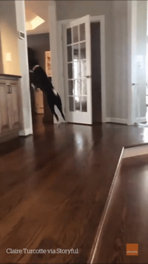 """My dog has just figured out how to jump...now he won't stop"" 😂😂: Claire Turcotte via Storyful ""My dog has just figured out how to jump...now he won't stop"" 😂😂"