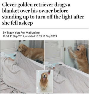 Golden Retriever, Mailonline, and Light: Clever golden retriever drags a  blanket over his owner before  standing up to turn off the light after  she fell asleep  By Tracy You For Mailonline  16:54 11 Sep 2019, updated 16:59 11 Sep 2019 Must take care of hooman.