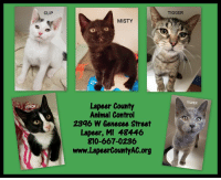 Facebook, Growing Up, and Love: CLIP  TIGGER  MISTY  SILVER  Lapeer County  Animal Control  2396 W Genesee Street  Lapeer, MI 48446  810-667-0236  www.LapeerCountyAC.org These babies would love a home soon versus growing up in a shelter!  All of them are social and have had a vaccine.  Adoption fee is $70 which includes a $50 refundable spay/neuter deposit.    For more information please view the most current cat/kitten album: https://www.facebook.com/pg/LapeersAdopt/photos/?tab=album&album_id=2108751282529013