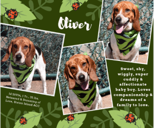 """Animals, Cats, and Children: Cliver  Sweet, shy,  wiggly,super  cuddly &  affectionate  baby boy. Loves  companionship &  dreams of а  Id 58914, 1Yr., 35 lbs.  Netuered & Dreaming of  family to love.  Love, Staten Island ACC TO BE KILLED – 7/13/2019  Oliver is only a baby, just a year old, wiggly, happy, sweet and shy and he is still trying to find his rudder.  Instead of the stability of a family home, with an experienced foster or adopter, he has been shifted from place to place, and now he is wondering if anyone will ever love him.  But let's be clear.  Oliver is SO worthy of love.  He's just a total love, incredibly sweet, very waggy, and more than willing to put his heart into the hands of a family who will love him. Watch his video below and see him in action.  If your heart doesn't melt, you don't have one!   He loves being around people, but initially he needs a little time to warm to new friends, which doesn't take long at all.   Let's try to find this adorable boy the Happy Ever After that has eluded him so far.  As a staff member writes: """"Hello, my name is Oliver and I am a cool dog. I am cute and sweet and I am looking for my furever home. I hope that I can find a family who has the time to love me. I'm the type of dog who likes companionship. I enjoy being surrounded by the people I love. So if you are looking for a new friend, I am your dog! I am located at The Staten Island Care Center, so why not stop by and meet me today.""""   Hurry and MESSAGE our page or email us at MustLoveDogsNYC@gmail.com for assistance saving his life.  Due to his rating, he must go to an adult only home (no children under Age 13).   MY MOVIES! I'm Oliver – a Friendly Hound!   https://www.youtube.com/watch?v=ndNc-L2aNZA  Oliver – Hound Time!   https://www.youtube.com/watch?v=rpBCTi95Dbk      OLIVER, ID# 58914, 1 Yr., 3 Mos. old, 35 lbs, Neutered Male Staten Island ACC, Medium Mixed Breed, Tri-Color Owner Surrender Reason:  Aggressive to other Animals Shelter Assessment Rating:  """