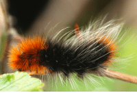 Beautiful, Black, and Caterpillar: Close up landscape macro of beautiful large black and reddish brown caterpillar.