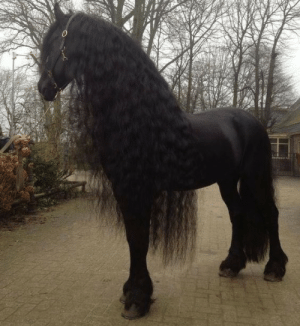 cmder:  cyberfutch:  gallusrostromegalus:  lonelymountainson:  afrocentric-divination: Me as a horse.   Okay I know it's beautiful, I know, but here's the thing: it's a trap. Because that's almost definitely like 600% a kelpie, and if you touch it it will drag you into a river and eat you.  Please enjoy this very pretty and Not At All Suspect horse.   @cmder   No!: cmder:  cyberfutch:  gallusrostromegalus:  lonelymountainson:  afrocentric-divination: Me as a horse.   Okay I know it's beautiful, I know, but here's the thing: it's a trap. Because that's almost definitely like 600% a kelpie, and if you touch it it will drag you into a river and eat you.  Please enjoy this very pretty and Not At All Suspect horse.   @cmder   No!