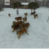 cnn.com, Drone, and Heaven: CNN sharksandotherthings: bend-heaven-raise-hell:  sushinfood:  babyanimalgifs:  tigers chasing a drone credit: @cnninternational  alternative title:  underestimation costs zoo $400     This is the best video ever    @snarksassandalittlecrass