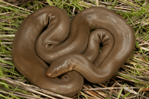 Coastal rubber boas (Charina bottae) are native to southwestern Canada and the northwestern US. They are considered the most docile of boa species and are often used to help people overcome their fear of snakes. There are no reports of rubber boas ever biting a human under any circumstance.: Coastal rubber boas (Charina bottae) are native to southwestern Canada and the northwestern US. They are considered the most docile of boa species and are often used to help people overcome their fear of snakes. There are no reports of rubber boas ever biting a human under any circumstance.
