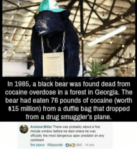 Cocaine: COCAINE BEAR  In 1985, a black bear was found dead from  cocaine overdose in a forest in Georgia. The  bear had eaten 76 pounds of cocaine (worth  $15 million) from a duffle bag that dropped  from a drug smuggler's plane.  Andrew Miller There was probably about a five  minute window before he died where he was  officially the most dangerous apex predator on any  continent  imi place Raspunde 660-14 ore