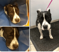 COLETTE is In and Out of ICU for High Fever.  Please, Help Us, Help Her by DONATING.  https://www.noahs-arks.net/animal/view/colette-staffy/1012#.W8dI-C2ZNp_  Sweet Colette has kept us all on our toes for the last two weeks. Between preparing for Hurricane Michael and all of the pups we have that are still critical, there has been no time to post which is saying a lot.  I am ready for Fall to arrive and the Hurrican Season to be behind us.   Colette has ended up back at CVRC in ICU twice in the last couple of weeks with inflamed legs and a very high temperature.  Dr. Kristin Welch has taken over her care to give her the best possible chance of surviving her illnesses. When Colette first arrived months ago, she was a hit by a car and needed surgery.  Surgery was done, but she did not improve.   Colette has three Tick-Borne Diseases that are significant. If we do not get them under control, she will die based on how sick she has been.  She has tested positive for multiple tick-borne diseases including Bartonella, Rickettsia, and Ehrlichia.  Based on her antibody levels, Dr. Welch suspects that her Bartonella and Rickettsia are the primary causes of her chronic intermittent fever and recurrent joint effusion (accumulation of fluid) and pain.   Each Disease requires a different antibiotic for an extended period. We have just started our third antibiotic for this beautiful pup.   When her joints swell with fluid, her fever returns, and she has to go back to ICU and have her joints tapped. The more times we tap the joints, her chances go up for getting an infection in the joint.   If we can get her fever down by not tapping the joints, we have made progress.  The problem is that even on IV fluids, we have had a hard time getting her fever down.   When Colette's joints fill, she has terrible pain and no longer wants to walk. She will get up, take a few steps and then lay down.  She feels awful because her legs hurt and her body aches from the fever. It breaks our hearts fo