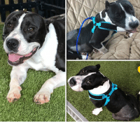 COLETTE is not doing well and is BACK in the Hospital.  Please, Help Us, Help Her by DONATING.  https://www.noahs-arks.net/animal/view/colette-staffy/1008#.W6kWSS2ZOgQ  Our sweet Colette has had more than her share of hardships over the last couple of weeks.  She started having trouble with her rear legs during the hurricane and was taken to see her Surgeon in Charlotte, NC and stayed there so they could determine exactly what was going on.  They found she had an infection that had gotten into one of her joints and that was causing her more discomfort.  The hospital was finally able to get her comfortable along with starting her on antibiotics.   Once the Hurricane had passed, we were able to go up and get her and bring her back to our Rehab Facility.  We gave her several days to see if she improved, but she did not.  We had to take her back to the hospital where she remained.  We have now determined she must have injured her neck during the car accident.  She cannot have anything around her neck, and we now have her in a harness to assist her when she gets up.   This morning she is starting to cup her front foot under which tells us she has a nerve problem.  We spoke to Dr. Jason King, our wonderful Neurologist in Savannah, GA and he is making plans to do an MRI on adorable Colette.  This sweet girl cannot seem to get on the other side of her injury even after her pelvic surgery.   She still has a break in her pelvis that could not be fixed but has shown improvement and is starting to mend and heal.   Adorable does not even begin to describe how cute Colette is.  All we want to do is lift her up in our arms and cuddle but we can't because of her injuries.   She seems to hurt just about everywhere which is why we are so careful with her.  The pain meds she is taking are helping some but not enough.  In my gut, I know something has been missed for her to feel this bad.    We feel confident Dr. King can figure it out.   Colette has been in and out of the hospital sinc