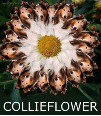 Instagram: @punsonly Twitter: @puns_only: COLLIE FLOWER Instagram: @punsonly Twitter: @puns_only