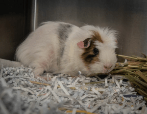 Barbie, Cute, and Food: Come on Barbie, lets go party... Because it's finally the weekend! And Barbie here just wants to celebrate finding a fur-ever home! 🎉  Guinea pigs are excellent recyclers and will help you by munching on your vegetable and fruit scraps 🍓♻️ We can also help you mow the lawns a little! We don't ask for much in return, just some companionship, a warm, secure hutch with clean, dry bedding and fresh food and water. We don't take up much room or dig holes; we are the perfect little pet for any lifestyle 💁‍♀️  like most guinea pigs, she is cute, fun, and can be quite social if you spend time with her. Can you make Barbie the happiest guinea pig in the world and give her her dream house... hutch? 🏡💕  Animal ID: 141452 Location: 25 Meyer Rd, Lonsdale Adoption fee: $15 www.rspcasa.org.au/adopt-a-pet/other