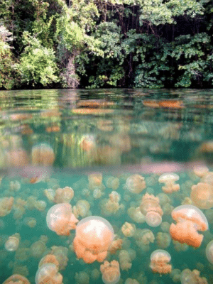 comedownstairsandsayhello:   frecklesandink:  momamiaaa:  Jellyfish Lake in Palau. Apparently the jellies have lost their ability to sting because of lack of predators in the lake and you can swim with them!  BUCKET LIST.  WAIT BUT THAT'S NOT EVEN THE COOLEST PART: These jellyfish carry small populations of algae inside their bodies and derive much of their nutrition from the sugars that the algae produce. The jellyfish follow the sun across the lake each day and rotate continuously, so that the algae are always getting maximum sunlight exposure for photosynthesis. Then at night they dive to deeper parts of the lake so the algae can absorb nitrogen. It's one of the best examples of endosymbiosis in action and it's KICKASS. : comedownstairsandsayhello:   frecklesandink:  momamiaaa:  Jellyfish Lake in Palau. Apparently the jellies have lost their ability to sting because of lack of predators in the lake and you can swim with them!  BUCKET LIST.  WAIT BUT THAT'S NOT EVEN THE COOLEST PART: These jellyfish carry small populations of algae inside their bodies and derive much of their nutrition from the sugars that the algae produce. The jellyfish follow the sun across the lake each day and rotate continuously, so that the algae are always getting maximum sunlight exposure for photosynthesis. Then at night they dive to deeper parts of the lake so the algae can absorb nitrogen. It's one of the best examples of endosymbiosis in action and it's KICKASS.