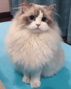 Espanol, International, and Tan: Comparte este gato guapo porque nadie será tan guapo como este gato https://t.co/7RldPjUrcA