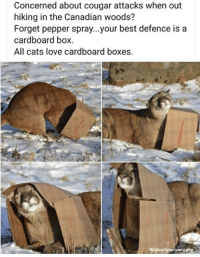 cougar: Concerned about cougar attacks when out  hiking in the Canadian woods?  Forget pepper spray...your best defence is a  cardboard box  All cats love cardboard boxes.  dcat