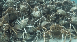 congenitaldisease:  Divers near Blaigowrie Pier, Port Phillip Bay, Australia, came across this bizarre scene of over 1,000 spider crabs crawling on top of one another to create some sort of creepy pyramid.: congenitaldisease:  Divers near Blaigowrie Pier, Port Phillip Bay, Australia, came across this bizarre scene of over 1,000 spider crabs crawling on top of one another to create some sort of creepy pyramid.