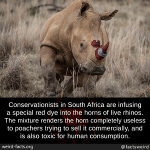 consumption: Conservationists in South Africa are infusing  a special red dye into the horns of live rhinos.  The mixture renders the horn completely useless  to poachers trying to sell it commercially, and  is also toxic for human consumption  weird-facts.org  @factsweird