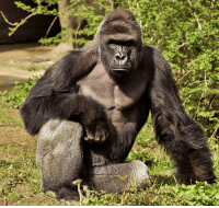 Consider this Harambe's official induction into the Dead Meme Hall of Fame: Consider this Harambe's official induction into the Dead Meme Hall of Fame