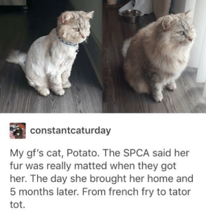Spca, Home, and Potato: constantcaturday  My gf's cat, Potato. The SPCA said her  fur was really matted when they got  her. The day she brought her home and  5 months later. From french fry to tator  tot. Yum yum in my tum tum